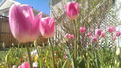 #garden pink tulips