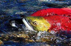 Spawning Sockeye Salmon.