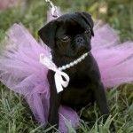 22 Pugs Who Dress to Impress