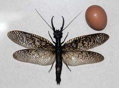.: Natureza: Maior inseto aquático do mundo é encontr...