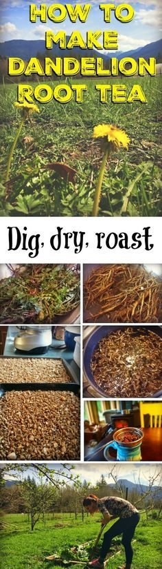 is my step-by-step tutorial on how to make dandelion root tea. There are many reasons to drink dandelion root tea, and it's fun and easy to dig your own roots, dry them, and make them into a delicious drink – even use it as a coffee substitute! Healing Herbs, Medicinal Plants, Natural Healing, Natural Medicine, Herbal Medicine, Herbal Remedies, Natural Remedies, Dandelion Recipes, Dandelion Root Tea