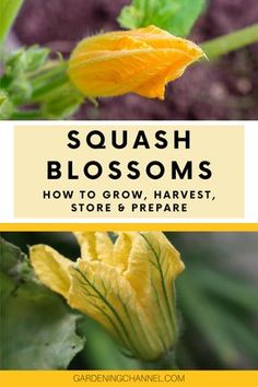 Learn how to grow and harvest squash blossoms and zucchini flowers. Follow these gardening tips to learn which flowers to harvest and how to prepare squash blossoms. #gardeningchannel #gardening #vegetablegardening #squashblossoms #stuffedsquashblossoms Zucchini Plants, Zucchini Flowers, Zucchini Blossoms, Fried Squash Blossoms, Stuffed Squash Blossoms, Sauteed Squash, Baked Squash, Growing Plants, Growing Vegetables