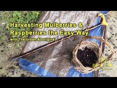 Harvesting Mulberries & Raspberries the Easy Way w/ The Urban-Aboriginal Aboriginal Food, Raspberries, Homesteading, Harvest, Urban, Easy, Raspberry