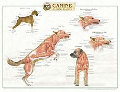 veterinary anatomy - Google Search