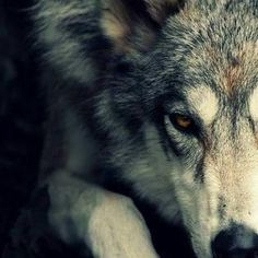Image result for dire wolf