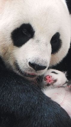Yuan Zai & her Mom Yuan Yuan,  In Taipei Zoo.
