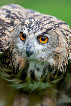 Ethel the Eagle Owl