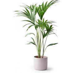 Kentiapalme 19 cm 349,- Plantasjen New Homes, Plants, House, Lily, Indoor House Plants, Home, Plant, Homes, Planets