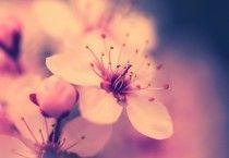 Sakura Flower Wallpaper/