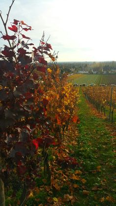Vineyard Hochheim Germany