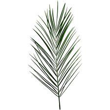 Phoenix Palm Leaf - click to enlarge
