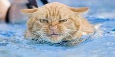cat swimming.