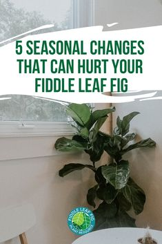 Large Indoor Plants, Big Plants, Fiddle Leaf Fig Tree, Alpine Plants, House Plant Care, Big Leaves, Tree Care, Houseplants, Planting Flowers