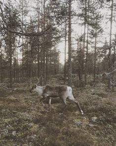 Running With The Reindeer / Postcard From Lapland Finland Summer, Lapland Finland, North Country, The Great Outdoors, Reindeer, Flora, Wildlife, Horses, Memories