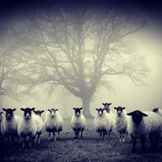 Sheep in the mist.