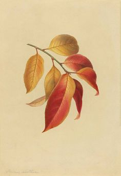 Prunus serotina, original watercolour  by Isaac Sprague from the 1840s. Peacay, via Flickr