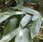 Sasa palmata - broad-leaved bamboo