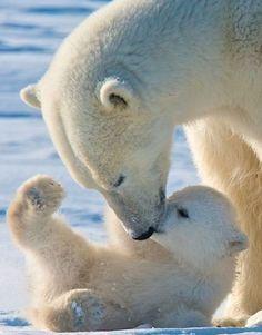 Momma Polar Bear and cub. #Animals #CuteAnimals #PolarBear #BabyAnimals