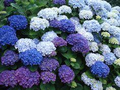 Mi Cuba Azul: Las Hortensias y la mala suerte. Colorful Shrubs, Beautiful Flowers, Beautiful Gardens, Small Flowers, Hortensia Hydrangea, Flower Garden Plans, Flowers Garden, Spring Flowers, Pinterest Garden