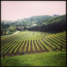 That's the vineyard of Kozlovic, a local winery in Istria, Croatia.