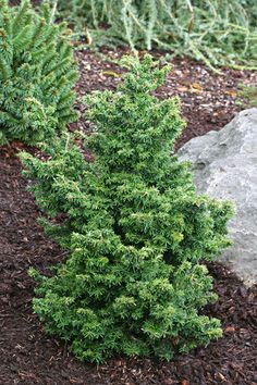 Tsuga canadensis 'Jervis' - Jervis Canadian Hemlock.  A great Dwarf Conifer only about 1' and slow growing. michaelmuro.com