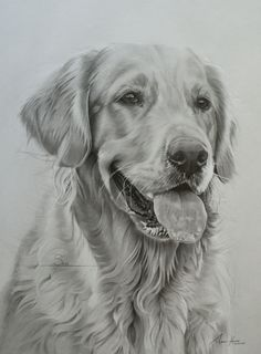 """This is Skye, a Golden Retriever who lives in Scotland. She was drawn 20""""x16"""" from a highly detailed photo. A subtle grey background was applied to pick out the highlights of the fur."""