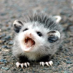 """Ferocious Opossum.  We had a large male that we thought our little dog had killed, my hubby even picked it up with a trash bag and put it in a large garbage can. The next day... He took the trash out, and low and behold, it had defiantly been """"playing possum"""" the night before! Scared me with all his hissing and growling. I tipped over the can and watched him slowly saunter away!"""