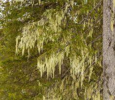 Luppokuusi - luppo korpiluppo Alectoria sarmentosa jäkälä jäkälät kuusi Picea abies metsä luonnonmetsä Virmajoen luonnonsuojelualue Etelä-Kuusamon vanhat metsät ikimetsä ikipuu kevät keväinen