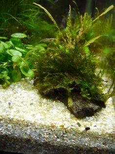 Naissances de crevettes, arrivée de poissons moustiques… http://www.pariscotejardin.fr/2013/06/naissances-de-crevettes-arrivee-de-poissons-moustiques/
