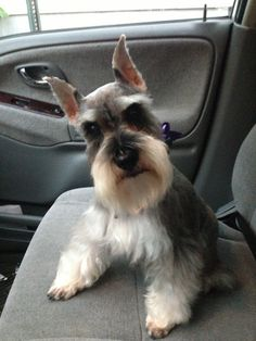 Oh my gosh what a darling little mini Schnauzer, she is so adorable!!✨
