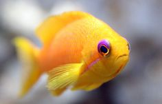 i want one but i heard that they get really big and my family love fish  if you know what i mean ( i don't i hate it )