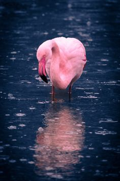 Water Images, Public Domain, View Image, Free Stock Photos, Flamingo, Free Images, Pictures, Photography, Flamingo Bird