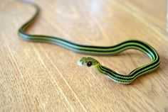 My boyfriend wants to get a snake:/ but this one's kinda cute..