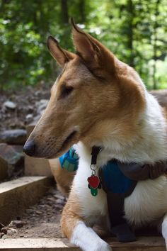 A Smooth Collie
