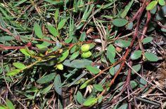 福星花園: 假葉下珠