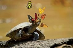 Butterflies friends of the turtle.In Ecuador's Yasuní National Park, butterflies sip a yellow-spotted river turtle's tears. The mineral-rich liquid helps the insects reproduce. In exchange, the reptile gets a good eye-cleaning. Photo by Pete Oxford Ecuador, Animals Beautiful, Cute Animals, Animals Amazing, Beautiful Creatures, Turtle Love, Strange Places, Mundo Animal, Cutest Animals