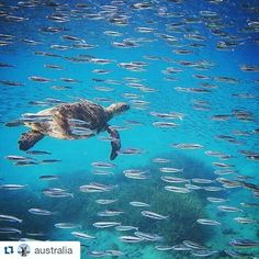 Earlier this week I was thrilled and honoured to be featured on the @australia instagram official instagrammer for Tourism Australia!  #Repost @australia with @repostapp  Oh to live the life of a turtle in the #GreatBarrierReef - just looking at this photo makes us feel relaxed! @instacavallo spotted this green turtle gliding through a school of bait fish off the beautiful @heronisland in the @southerngreatbarrierreef of @queensland. It's currently turtle hatching season here so even though…
