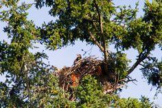 Pictures of the Week: Week 7 - Juvenile Bald Eaglet