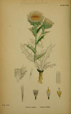 v.5 (1866) - English botany, or, Coloured figures of British plants / - Biodiversity Heritage Library