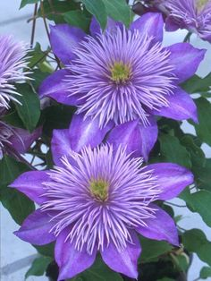 Fountain-like centers on lilac blue flowers-Clematis 'Crystal Fountain',bloom time:early summer to early fall,full sun to mostly type Exotic Flowers, Amazing Flowers, Pretty Flowers, Purple Flowers, Colorful Roses, Yellow Roses, Pink Roses, Small Flowers, Paper Flowers