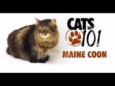 CATS 101 - Maine Coon [ENG] - YouTube.  [I love my sweet Maine Coon, Tiger; he is the most beautiful cat I have ever seen.]