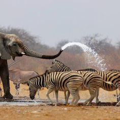 "The elephant ""car wash"" is positively awesome! Actually this is a photograph of an elephant spraying zebras with water to keep them away from the waterhole. Amazing shot of a South Africa or Cape Town Safari Animals And Pets, Funny Animals, Cute Animals, Wild Animals, Nature Animals, Garden Animals, Wildlife Nature, African Elephant, African Animals"