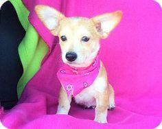 Burbank, CA - Corgi Mix. Meet Brooklyn, a puppy for adoption. http://www.adoptapet.com/pet/16321441-burbank-california-corgi-mix