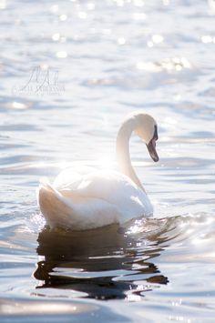 Gorgeous beautiful swan photo of birds. Beautiful Swan, Beautiful Birds, Beautiful Images, Animals Beautiful, Art Photography Portrait, Animal Photography, Nature Photography, Photography Aesthetic, Portrait Art