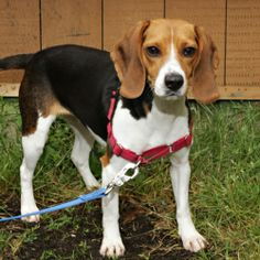 Ginger: Beagle, Dog; Bellingham, WA