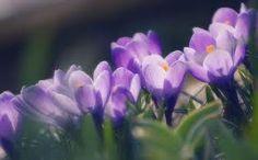 erdei virágok képek - Google keresés Krókusz