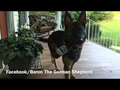 """Here's What Happens When One Tells Baron the German Shepherd They've """"Had a Long Day"""" - Neatorama"""