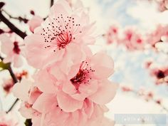 cherry blossoms...such a pretty pink!