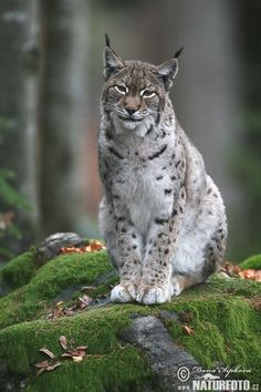 Eurasian lynx, extremely rare in the Netherlands, can occasionally be seen in the deep south ('spill over' from the adjacent Ardennes, Belgium)-nice smile Big Cats, Cats And Kittens, Cute Cats, Beautiful Cats, Animals Beautiful, Lynx Boréal, Eurasian Lynx, Lynx Du Canada, Chat Lion
