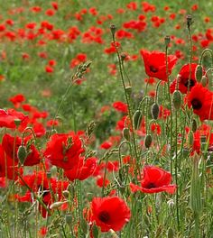 It's rare when the most common is everyone's favourite, but this is the case with poppies in Abruzzo, Italy even when facing stiff competition from orchids Red Poppies, Red Roses, Flowers Nature, Beautiful Flowers, Deer Resistant Plants, Invasive Plants, Spring Sign, Summer Flowers, Pansies